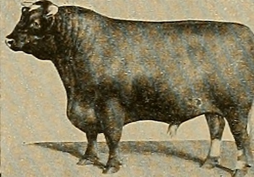 Picture of a bull from an 1882 reference guide, as found on Flickr